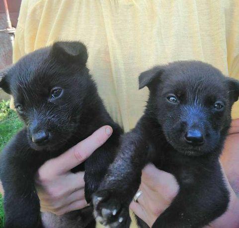 Продам щенков Немецкой овчарки 4 мальчика и 1 девочка