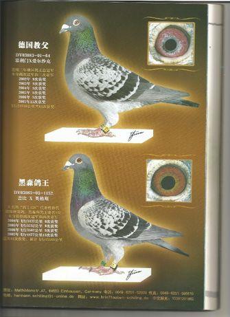 gołębie pocztowe młode G.H.SCHILLING