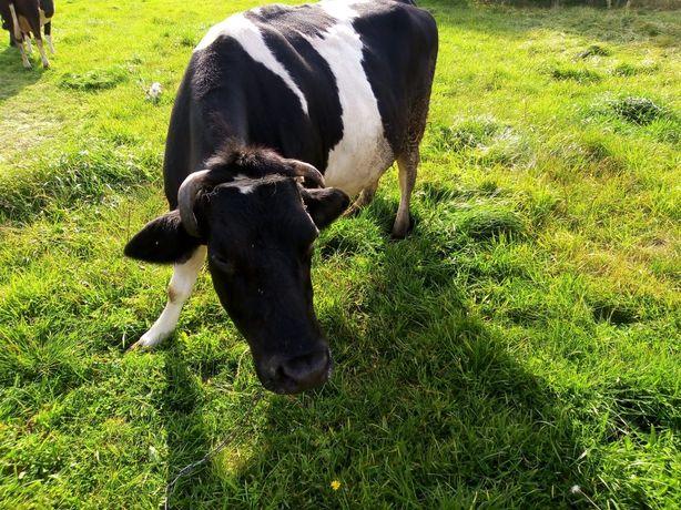 Krowa biało czarna