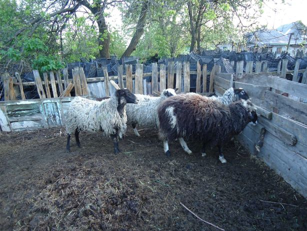 Продам овец и барана