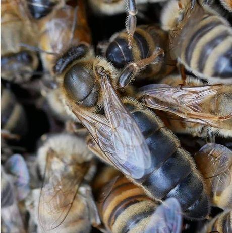 Продам Пчеломатки Карпатки 2021