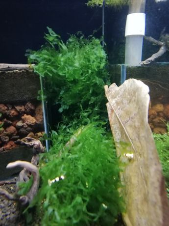 Sprzedam Monosolenium tenerum (pelia)