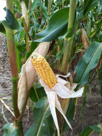 Kukurydza Mas 26.R Nowość (kiszonka) FAO 260