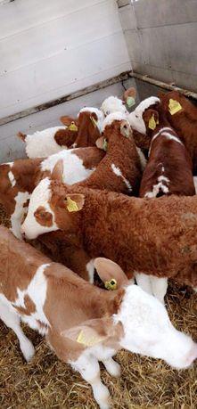 Sprzedaż cielaków mięsnych