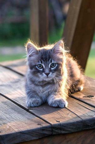 Koteczka Syberyjska