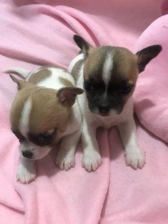 Chihuahua bebe macho