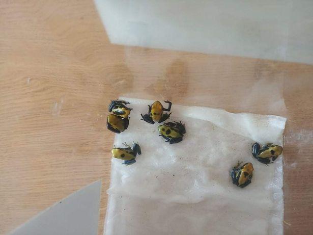 Dendrobates Tinctorius,  żaba, drzewołazy