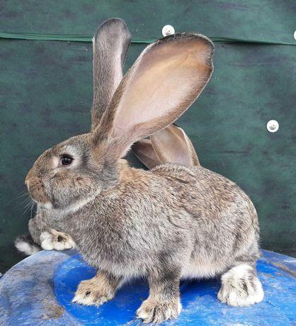 królik olbrzym belgijski szary, szynszylowy i biały