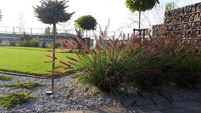 Rozplenica Hameln, pennisetum- trawa ozdobna