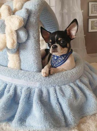 Chihuahua z rodowodem ZKwP