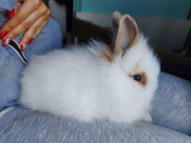 PROMOÇÃO coelhos anões angora