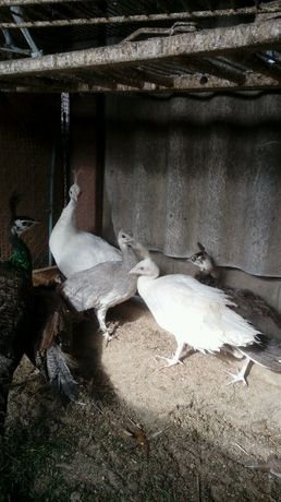 Pawie białe po Silverach