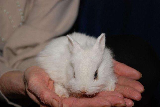 Мини и микро кролики весом 800 грамм и 1 кг, декоративный кролик