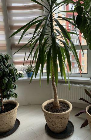 Юкка комнатная пальма ! Комнатное растение Юкка