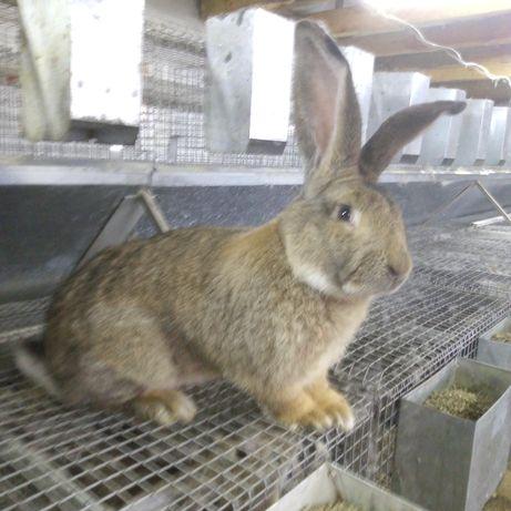 Продам кролів породи фландр/ кролі