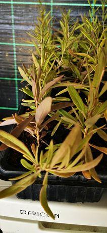 Plantas de goji prontas  a ser plantadas