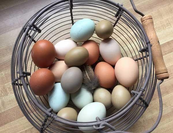 Інкубаційне яйце м'ясних та несучок
