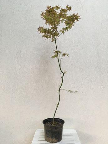 Acer palmatum de 7 anos para jardim