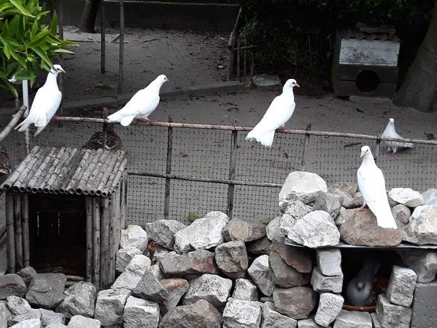 Pombos de Cor Branca