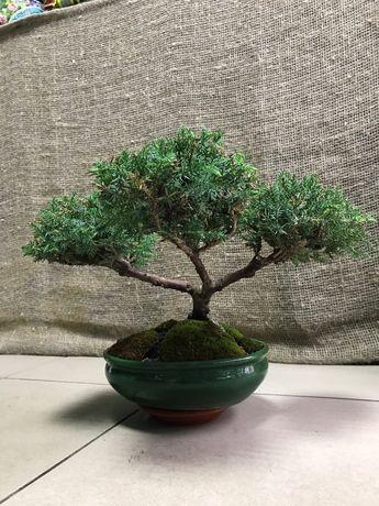 Бонсай,комнатные растения, пересадка, мини дерево
