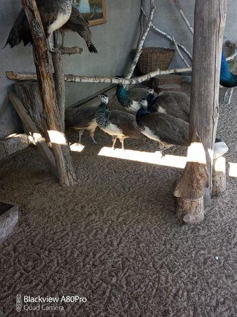 Продаю птицу павлины,