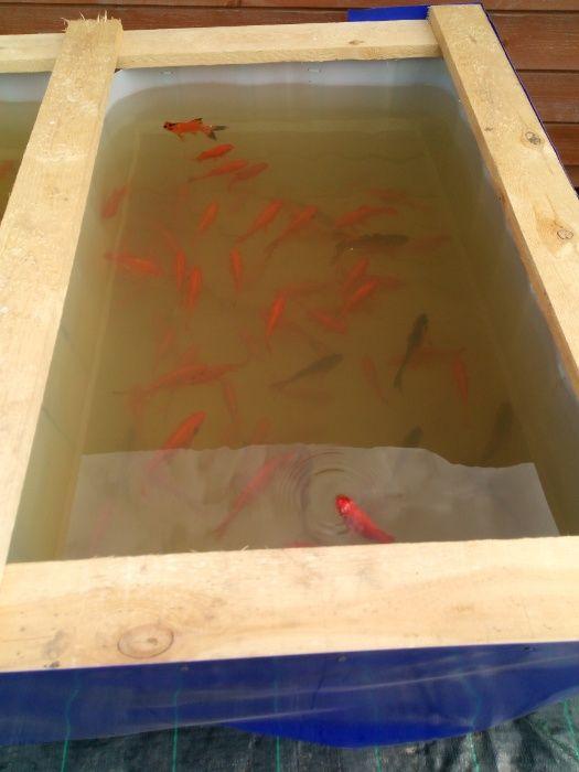 Ryby do oczek i stawów. Karp koi, karas, orfa, jesiotr