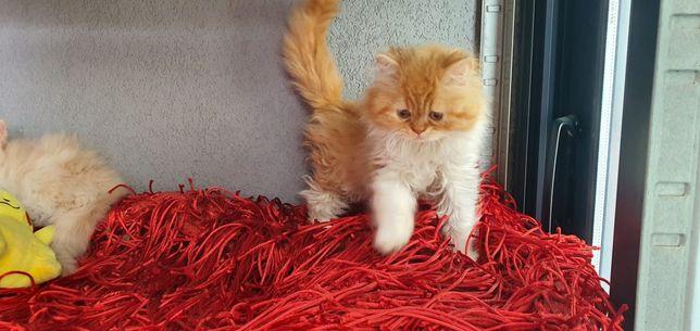 Gato persa  disponível