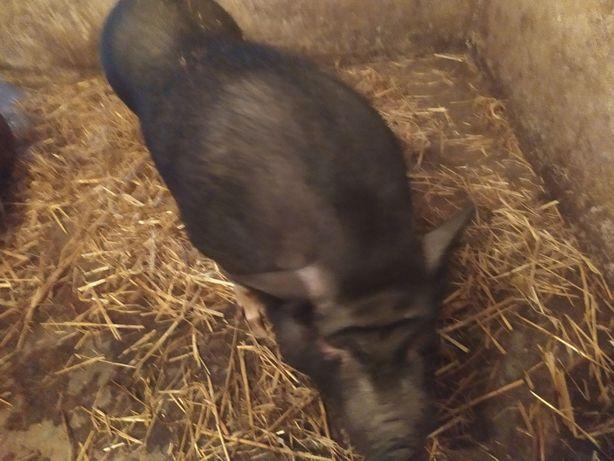 Продам вєтнамську свиноматку та хряка