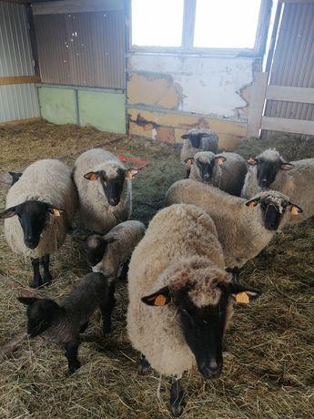 Czarnogłówki owce baranki
