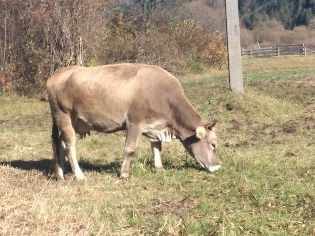 Продам гарну корову