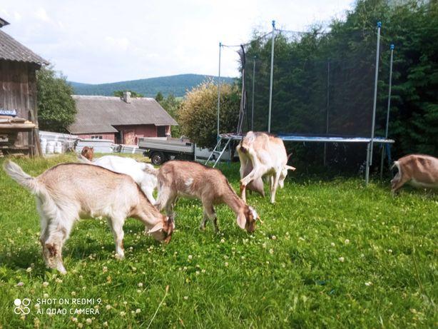 Kozy i koziołki na sprzedaż