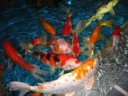 kois japonesas para o seu belo local de lazer e peixe Telapias