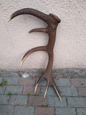 Poroże jelenia - zrzut 12-tak 3,40 kg