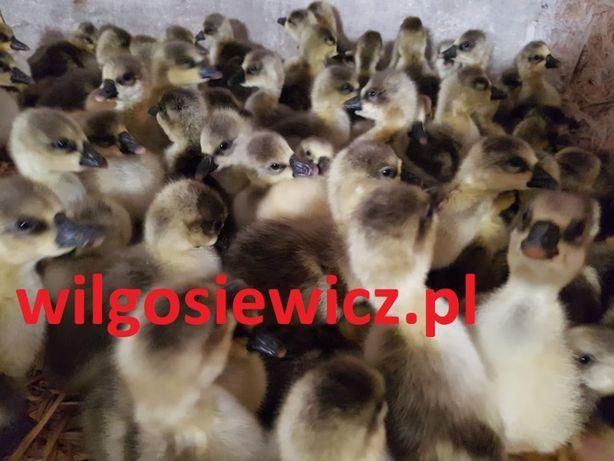 kaczki gęsi perliczki indyki przepiórki