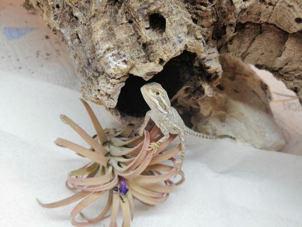 Agama karłowata - Pogona Henrylawsoni