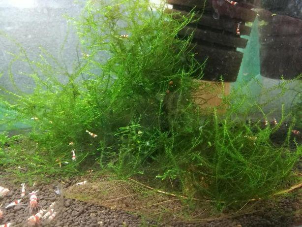 Flat moss - Duża ilość !!!
