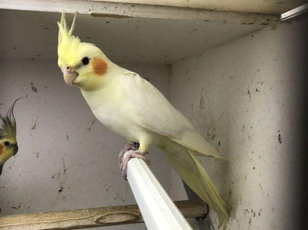 Papuga nimfa,Papuga nimfa