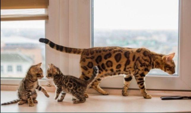 Бенгальские котята, шик и красота, ласковые леопардики