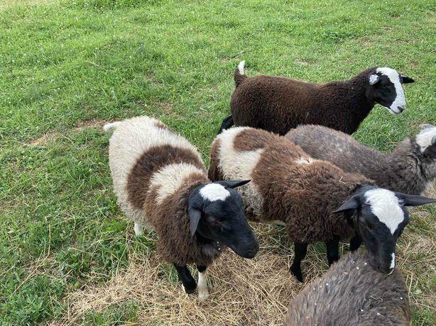 Продав віці , овци породи крос дорпер