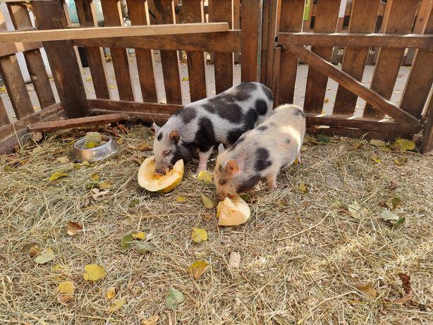Подрощеная  беременная мини пиг свинка