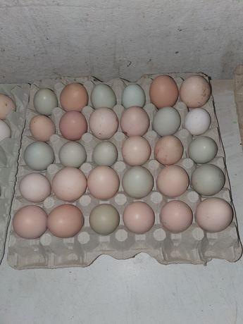 Jaja lęgowe kur mix