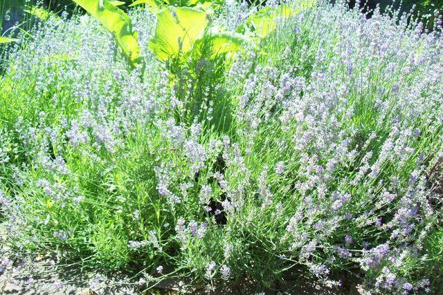 Лаванда, продам цветы лаванды, пахучий горный цветок
