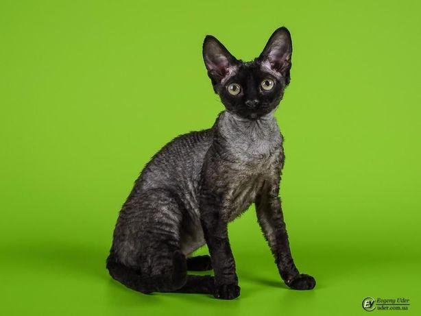 Кот девон-рекс для вязок