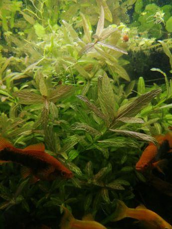 Roślinka akwariowa. Akwarium. Rybki