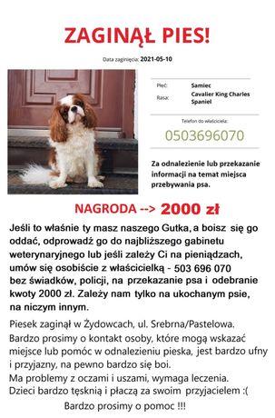 ZAGINAŁ PIES,CAVALIER,szukamy psa.Nagroda 2000 zl !!!