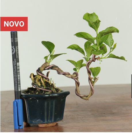 Bonsai mame celastrus orbiculatus