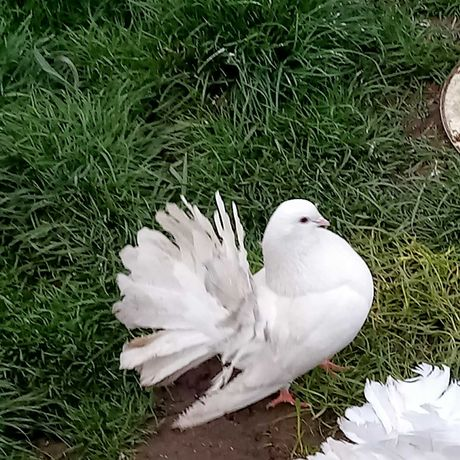 Pawiki, biały samczyk. Gołębie.