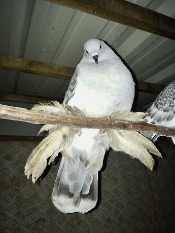 Pombos cambalhota holandês