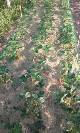 Саджанці клубніки раньої та середньостиглої