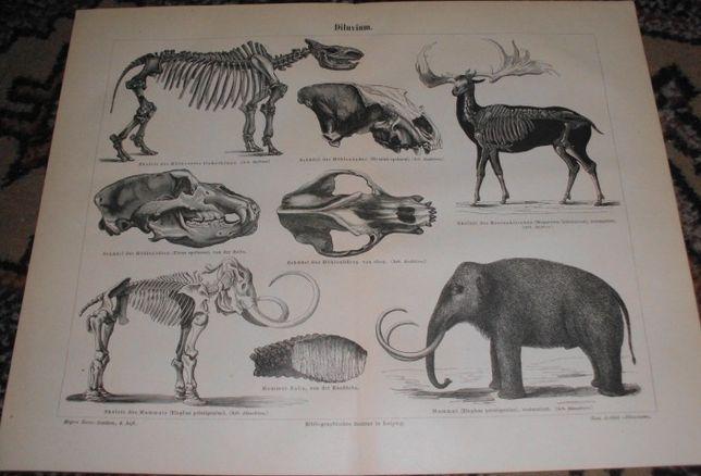 Mamuty, Skamieliny, Prehistoria oryginalna XIX w. grafika do wystroju